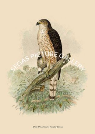 Sharp Shined Hawk - Accipiter Striatus